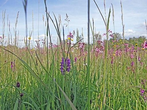 Blumenwiese CIMG4722 b