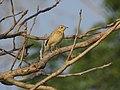 Blyth's pipit-kattampally@kannur birds - 1.jpg