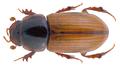 Bodilus ictericus (Laicharting 1781) Syn.- Aphodius (Bodilus) ictericus (Laicharting 1781) (32378981101).png