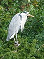 Bonchurch, a heron surveys the pond - geograph.org.uk - 1567534.jpg