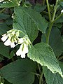 Boraginales - Symphytum officinale - 2.jpg