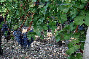 Cabernet Sauvignon grapes growing in the Frenc...