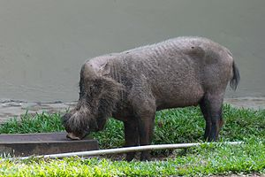 Bornean bearded pig - Bornean bearded pig at Bako National Park, Borneo