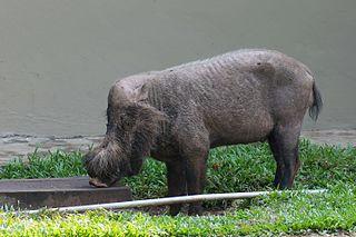 Pygmy hog - WikiMili, The Free Encyclopedia