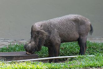 Bornean bearded pig - Bearded pig at Bako National Park, Borneo