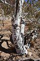 Boscia albitrunca-Brandberg (4).jpg