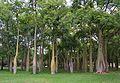 Bosquet de corísies al jardí del Túria de València.JPG