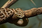 Bothrops alternatus Instituto Butantã (3).jpg