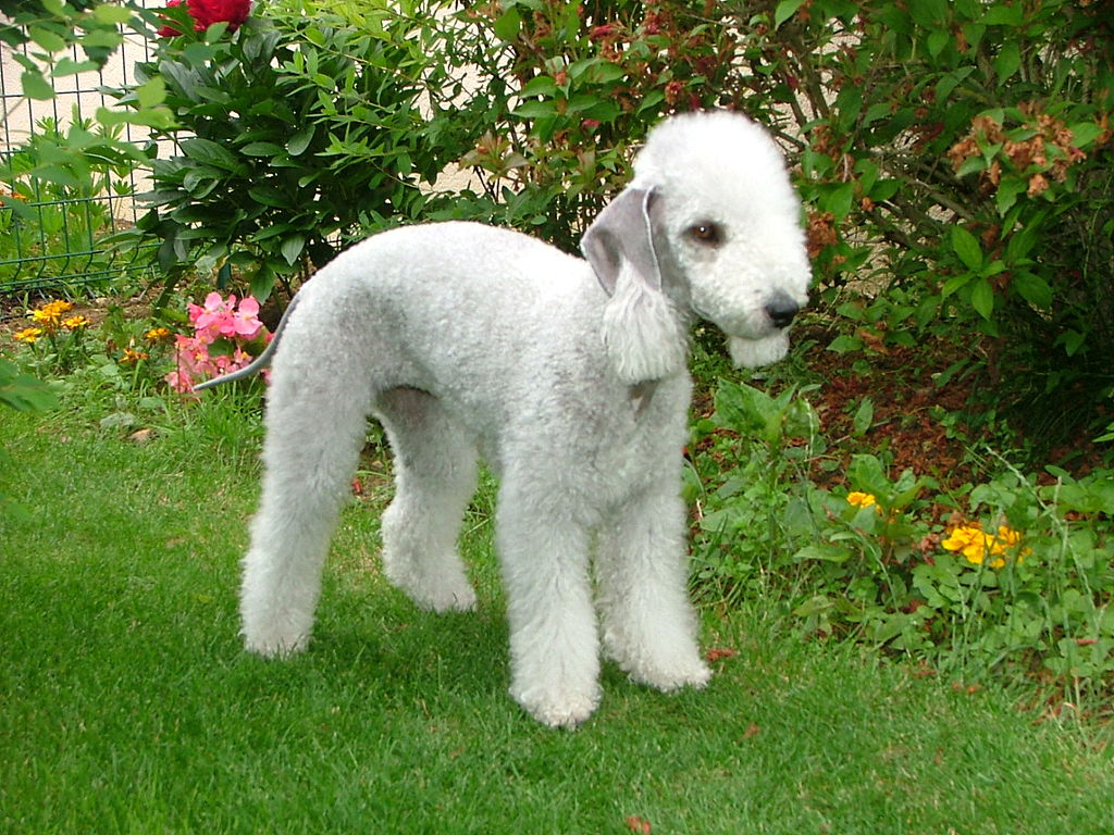 El Bedlington terrier es una raza canina originada en el siglo XIX