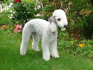 Bedlington Terrier Breed of small dog