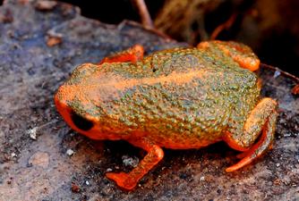 Brachycephalus verrucosus.png