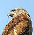 Brahminy Kite (13077297013).jpg