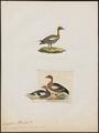 Branta magellanica - 1700-1880 - Print - Iconographia Zoologica - Special Collections University of Amsterdam - UBA01 IZ17600191.tif
