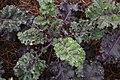 Brassica oleracea Redbot 1zz.jpg