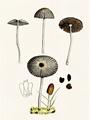 Bresadola - Coprinus plicatilis.png