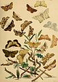 British moths and their transformations (1843) (20424632351).jpg