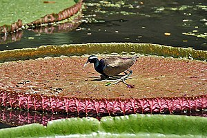 Bronze-winged jacana - Over its egg on Victoria amazonica (Giant Amazon Lily) in Kolkata, West Bengal, India.