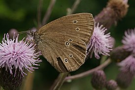 Brown Butterfly (02).jpg