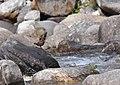 Brown Dipper (Cinclus pallasii) HimachalPradesh India Apr 2018.jpg