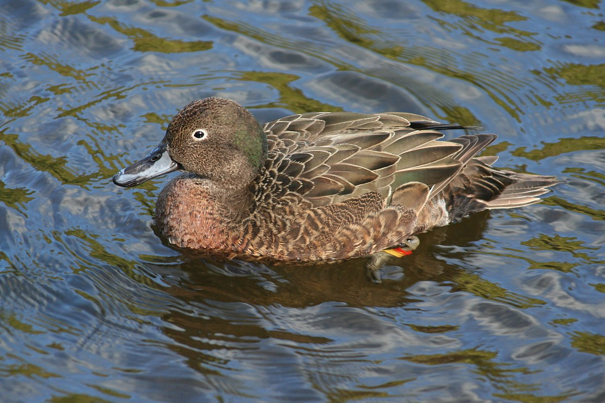 Brown teal - Wikipedia