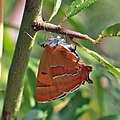 Brown hairstreak butterfly (Thecla betulae) female ready to lay.jpg