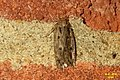 Brown house-moth (BG) (31696753745).jpg