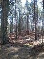Brownsea Island woodland (33917382055).jpg