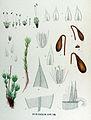 Bryum pendulum — Flora Batava — Volume v17.jpg