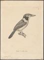 Bucco chacura - 1700-1880 - Print - Iconographia Zoologica - Special Collections University of Amsterdam - UBA01 IZ16800007.tif