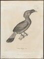 Buceros galeritus - 1700-1880 - Print - Iconographia Zoologica - Special Collections University of Amsterdam - UBA01 IZ19300179.tif