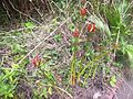 Buds of higanbana - nature 2014.jpg