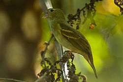 Buffy-fronted Seedeater - Itatiaia - Brazil MG 0776 (23095834790).jpg