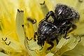 Buggy flower (16076603013).jpg