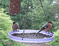 Bullfinches - feeding in the rain - geograph.org.uk - 860744.jpg