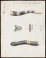 Bungarus fasciatus - 1700-1880 - Print - Iconographia Zoologica - Special Collections University of Amsterdam - UBA01 IZ11800085.tif