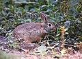 Bunny (43231250330).jpg