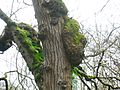 Burr on Elm in Kirtonhall Glen.JPG