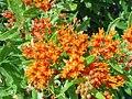 Butterfly Milkweed (7369483830).jpg