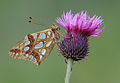 Butterfly Queen of Spain Fritillary - Issoria lathonia.jpg