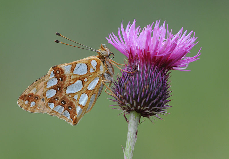File:Butterfly Queen of Spain Fritillary - Issoria lathonia.jpg