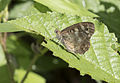 Butterfly Speckled Wood - Pararge aegeria 03.jpg