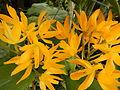C.Aurantiaca Goldenjf9250 02.JPG