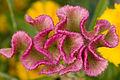 C.Celosia argentea.jpg