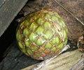 CALAMOIDEAE-fruit de Metroxylon sagu.jpg