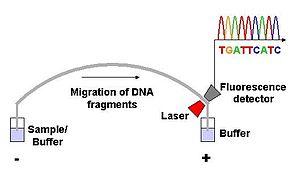 Sanger sequencing - Capillary electrophoreis