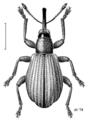 COLE Brentidae 4.png