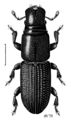 COLE Curculionidae Xenocnema spinipes.png