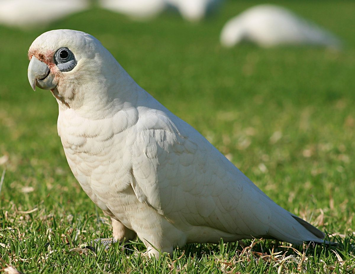 how to cook a cockatoo