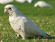 A white parrot with a crest and grey eye-spots