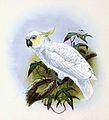 Cacatua sulphurea 1876.jpg
